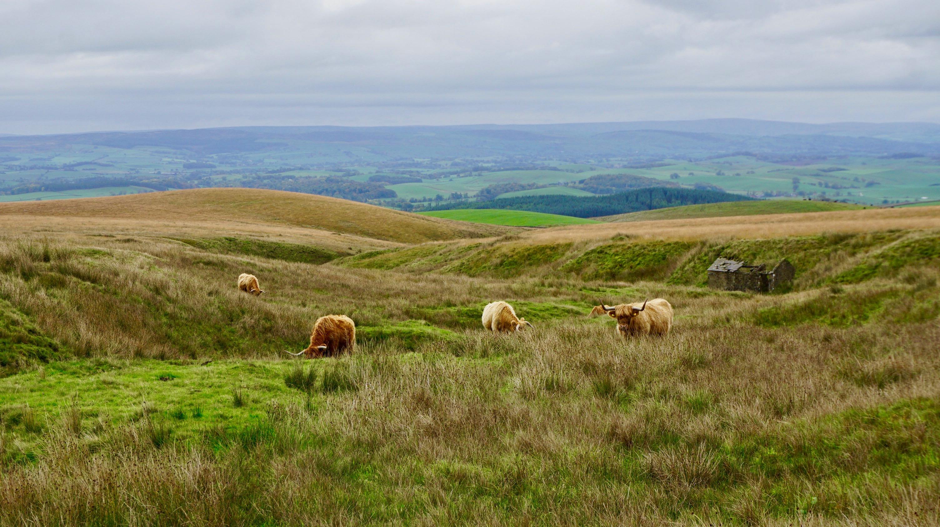 Highland_cattles.jpeg